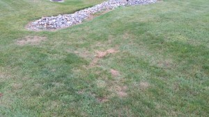 Grass with brown spots caused by grubs